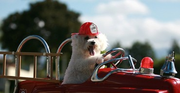 Fifi the Bichon Frise dog races to the rescue
